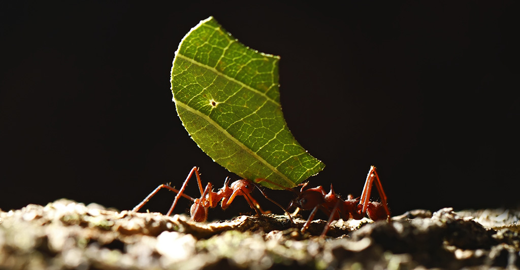 Two ants co-operating to move a green leaf